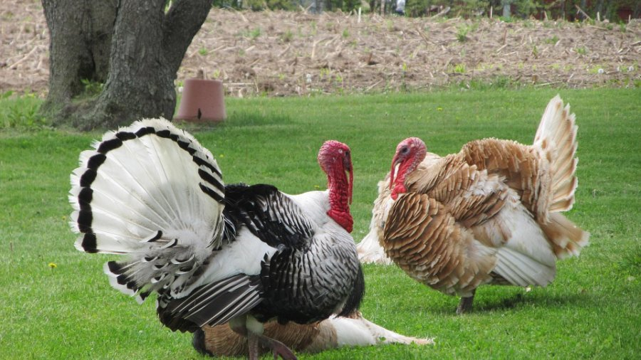 Turkeys \ Frugal Thanksgiving
